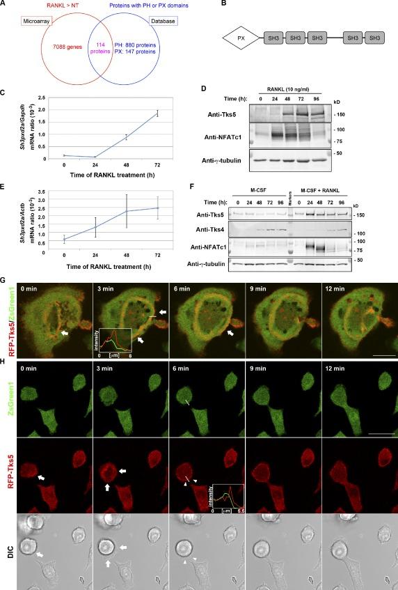 recombinant human M-CSF
