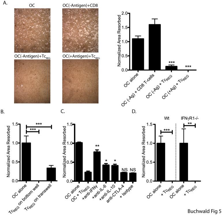 recombinant murine M-CSF