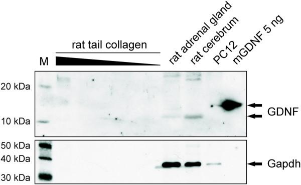 recombinant murine GDNF