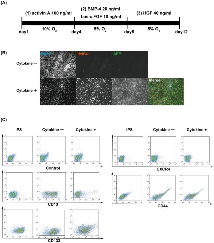 100 ng/ml recombinant human activin A