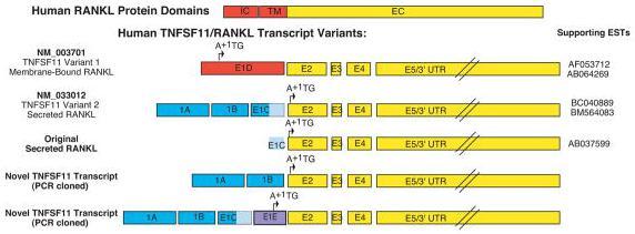 a rabbit anti-human RANKL polyclonal antibody