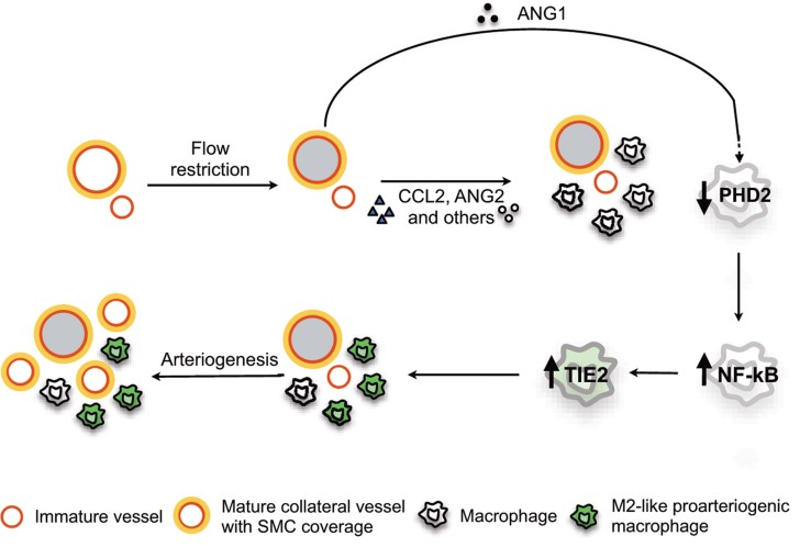 recombinant ANG1
